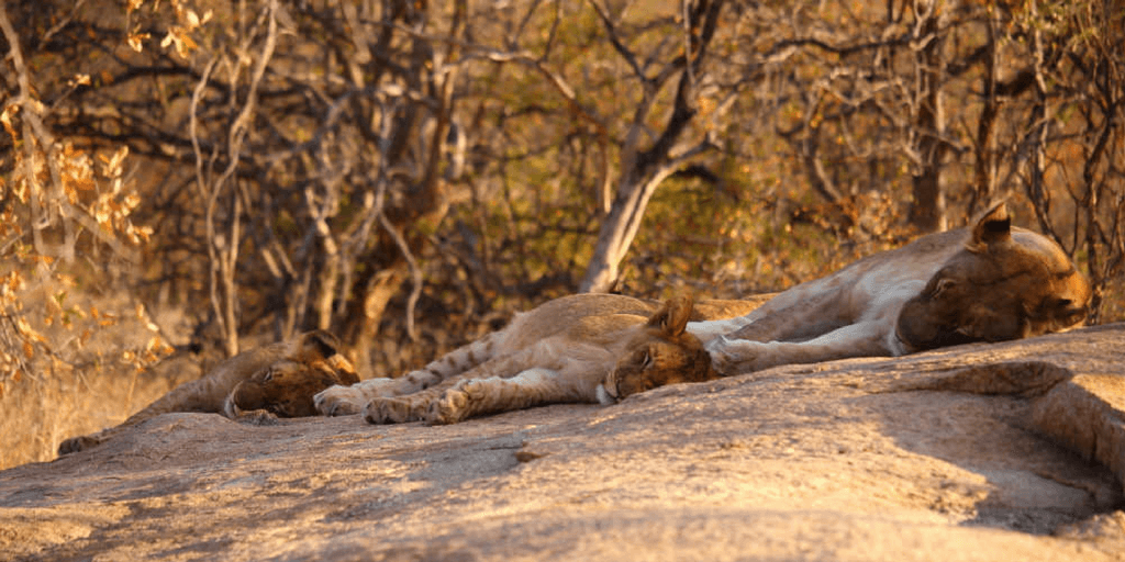 Lions spend about twenty hours a day asleep so it is no surprise that a young Leah found them taking a nap.