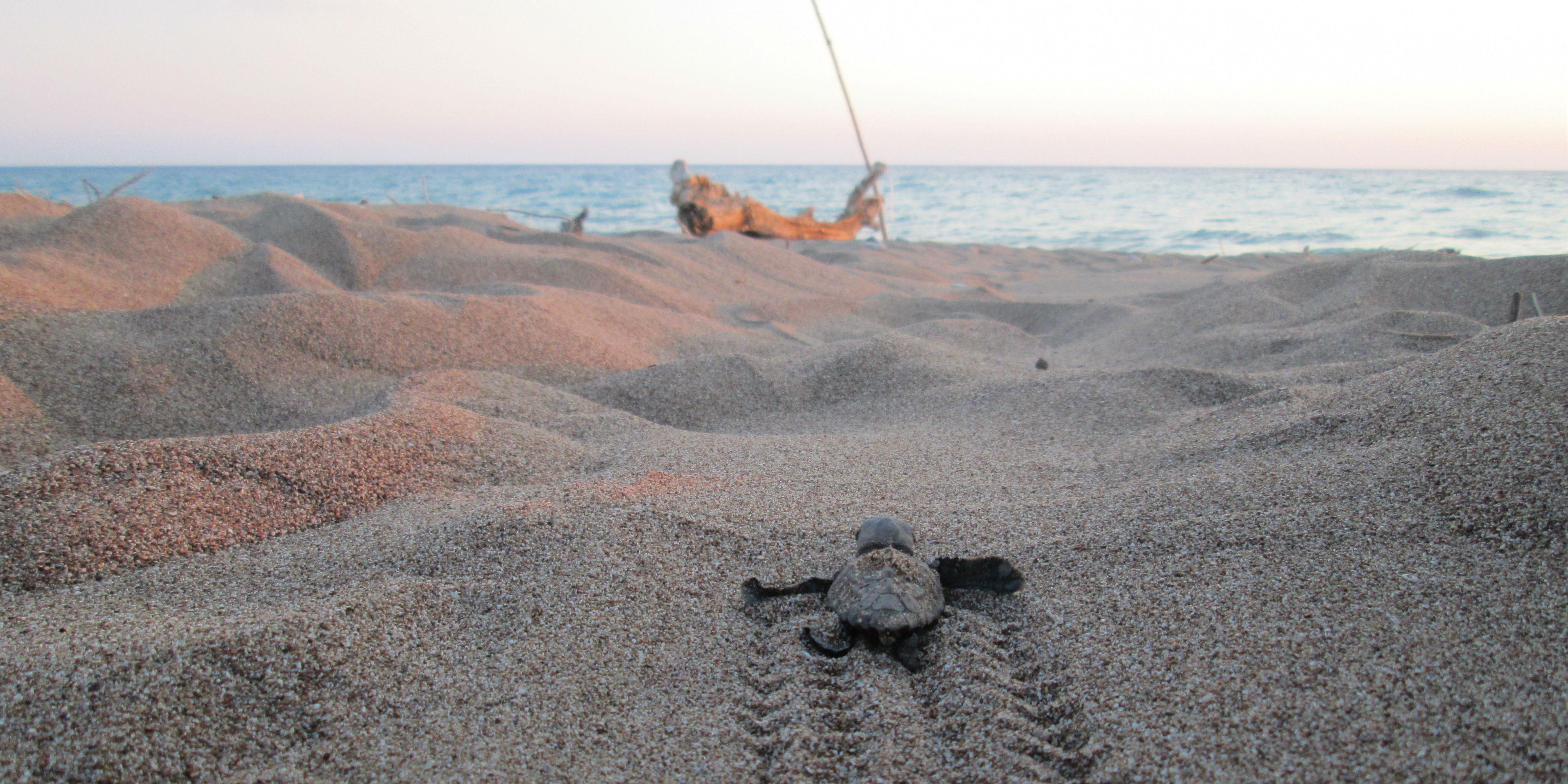 turtle hatch-lings