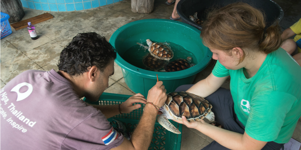 Volunteers cleaning turtles in the endangered turtle conservation and research program in Phang Nga in Thailand.