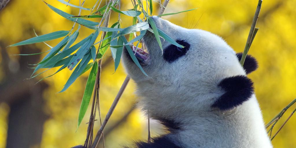 A giant panda bear eating.