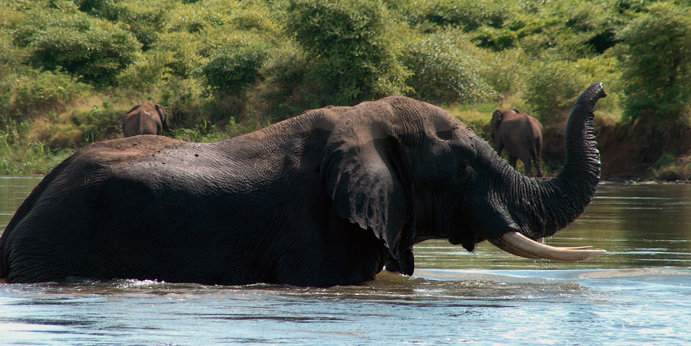 An elephant wades through water in Zambia. By taking part in wilife conservation in Africa, participants could help to conserve species like this.