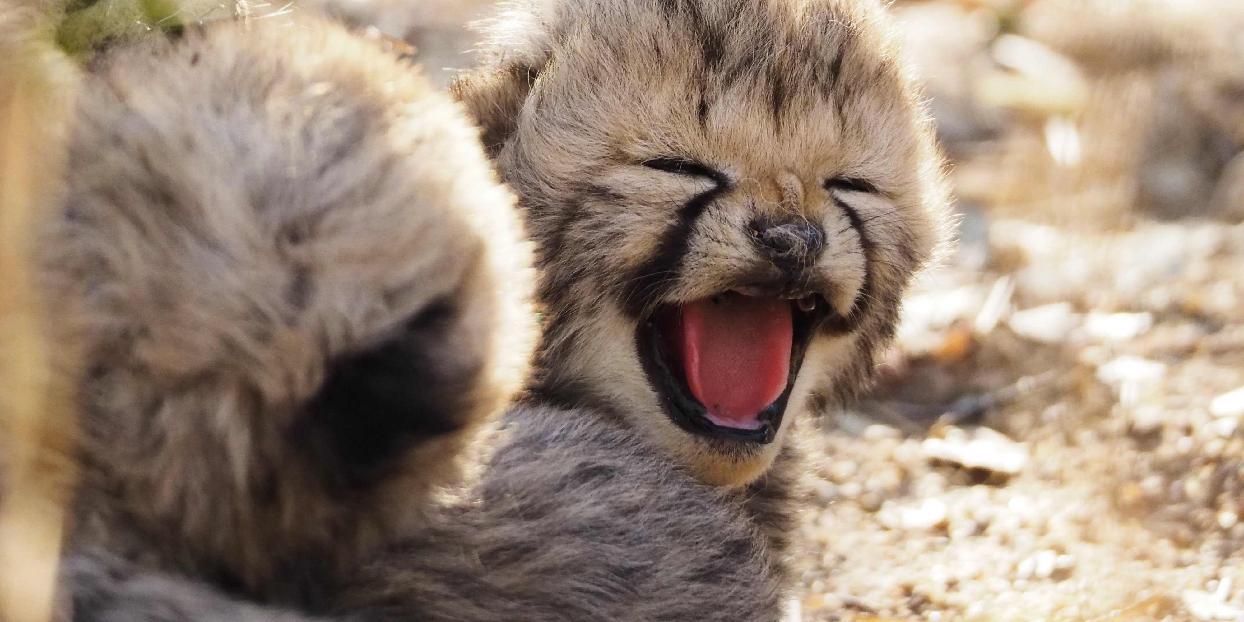Cheetah cubs yawn. These cubs show the success of the reserve's cheetah conservation efforts.
