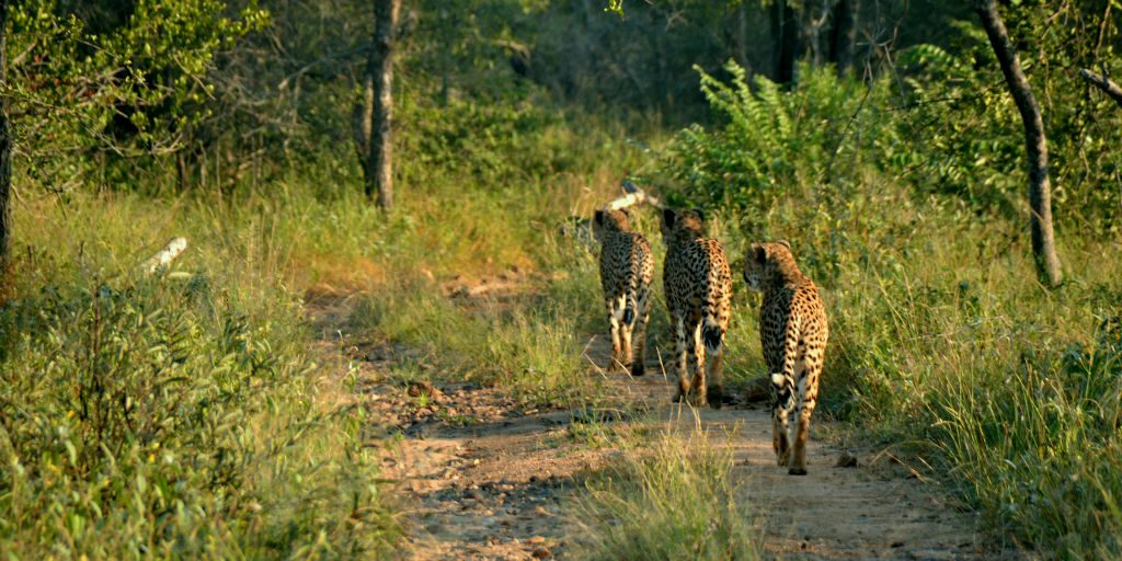 You could spend your gap year abroad tracking cheetahs as part of a cheetah conservation project in the South Africa