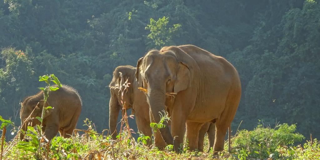 assist in reintegrating elephants in Thailand