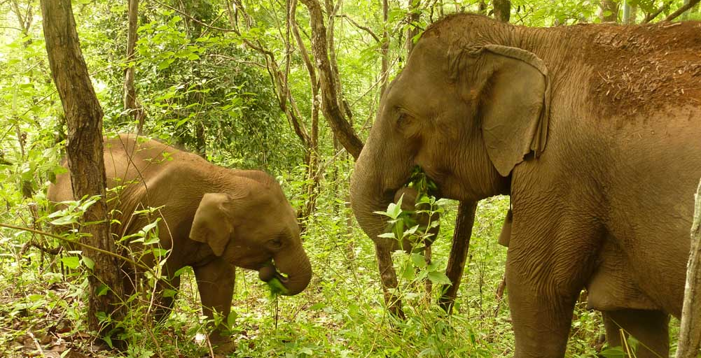 Asian elephants part of GVIs animal conservation projects