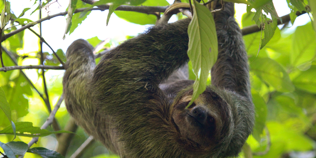 Spot the three-toed sloth when you volunteer abroad in Oxapampa, peru
