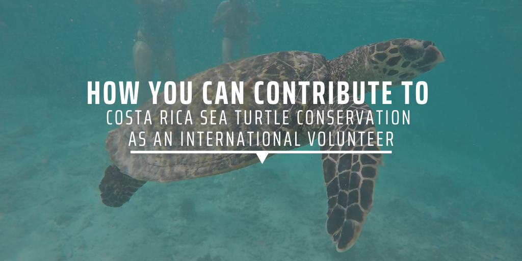 How you can contribute to Costa Rica sea turtle conservation as an international volunteer