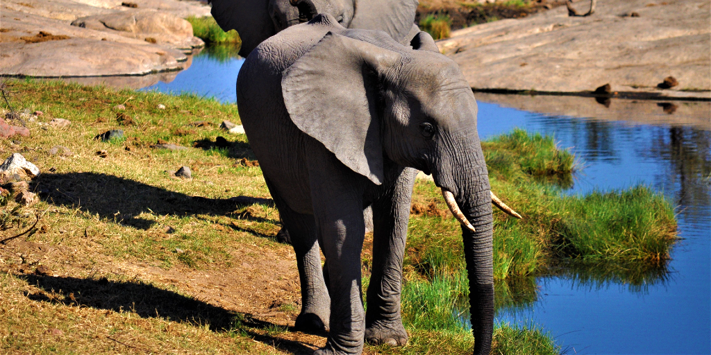 The elephant drinks water from a watering hole.