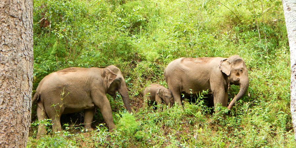 Volunteer with Asian elephants in Thailand.