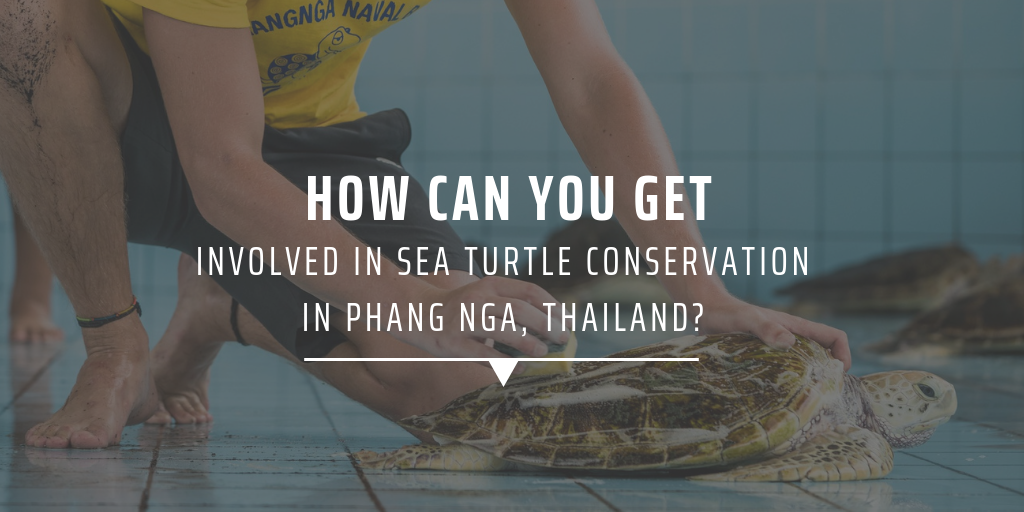 How can you get involved in sea turtle conservation in Phang Nga